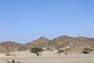 Accacia du désert de Marsa Alam