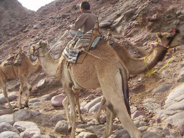 Bedouin à dos dromadaire c'est depuis le plus jeune age