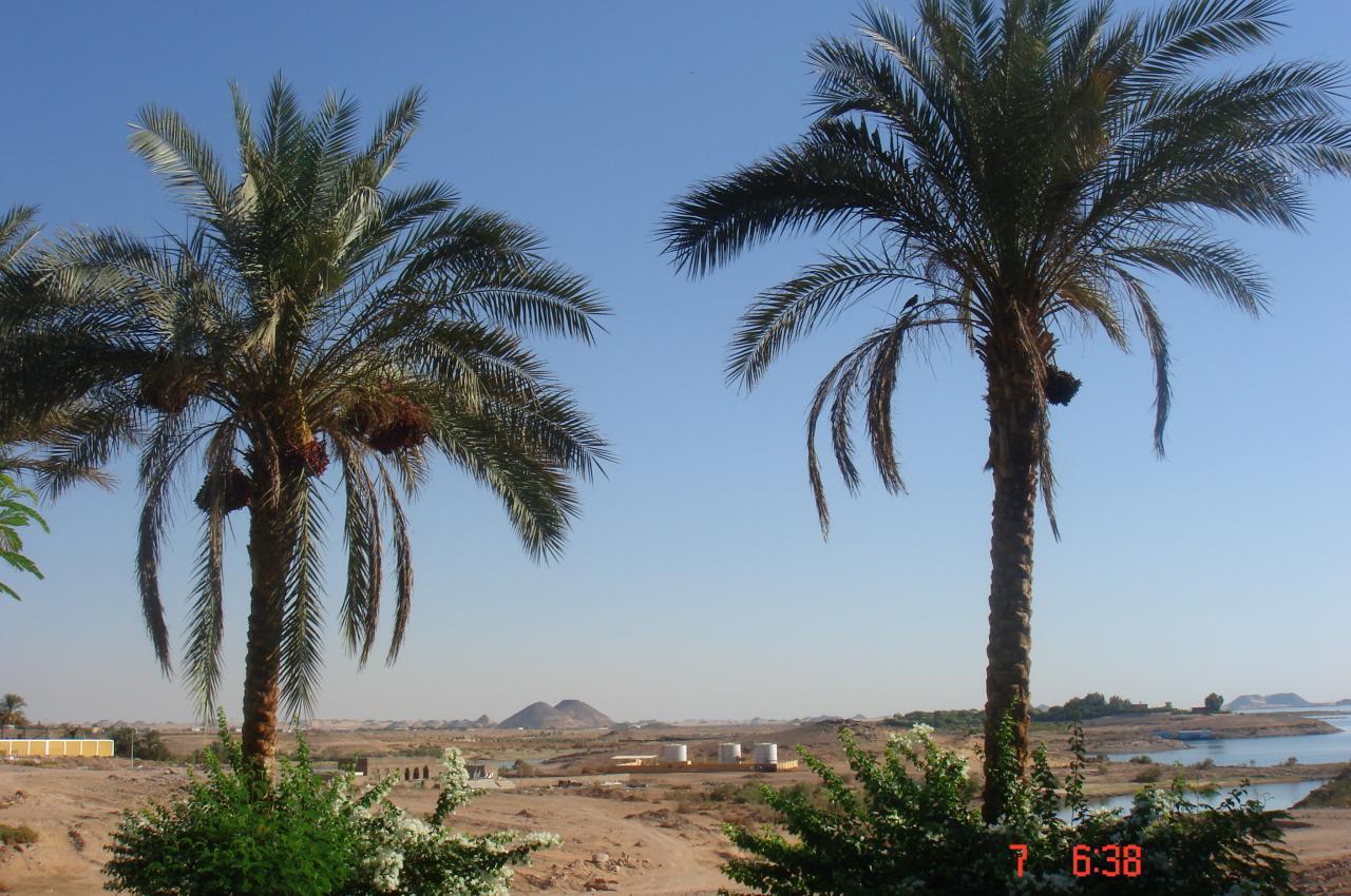 les palmiers dattiers, un paysage ...
