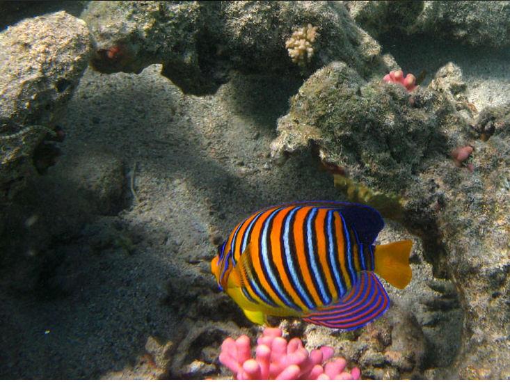 Poisson multicolor de la mer rouge