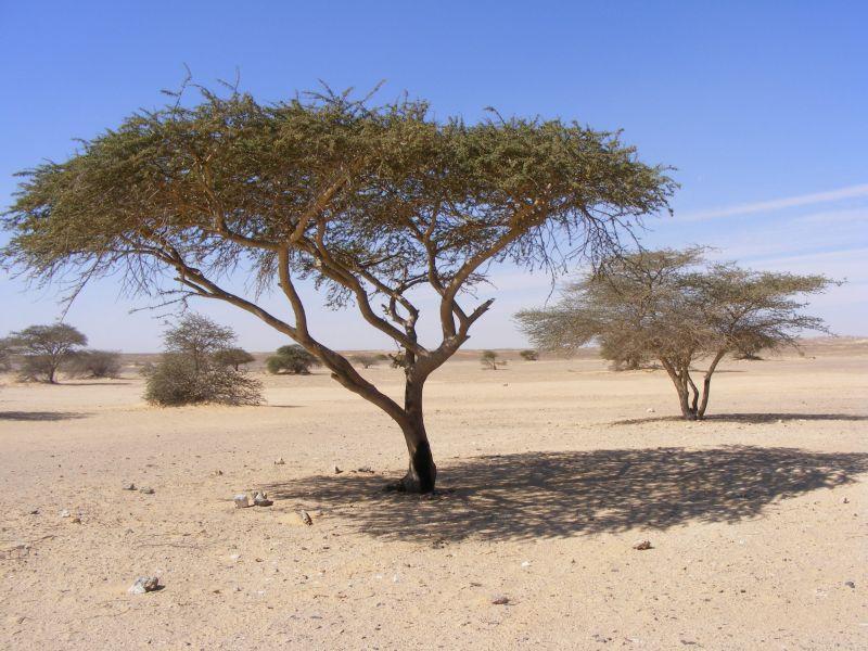 Acacia du desert d'Egypte