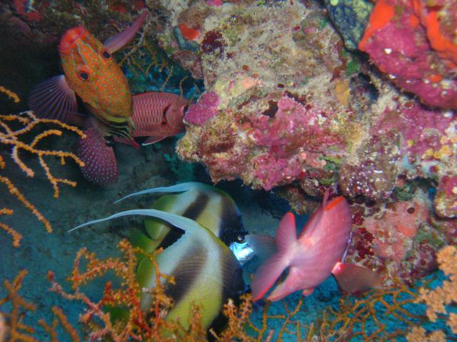 Poissons et coraux de la Mer rouge
